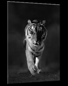 Tavla Canvas 50x70 Tiger