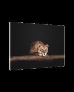Tavla Canvas 75x100 Waiting Lion