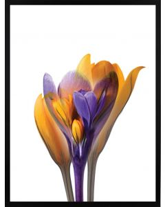 Poster 30x40 Spring Flower Yellow/Blue