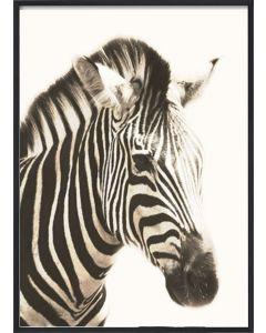 Poster 30x40 African Zebra Head (planpackad)