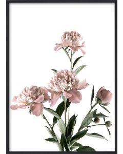Poster 30x40 Pink Peony (planpackad)