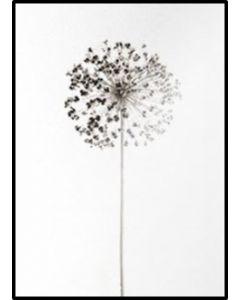 Poster 30x40 B&W Nature Dandelion (planpackad)